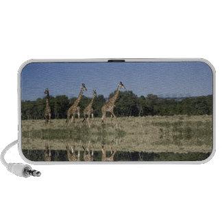 Jirafas del Masai, camelopardalis del Giraffa, Mas Altavoz De Viajar