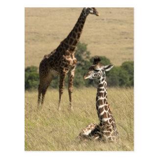 Jirafas del Masai, camelopardalis del Giraffa Tarjetas Postales