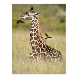 Jirafas del Masai, camelopardalis del Giraffa Postales