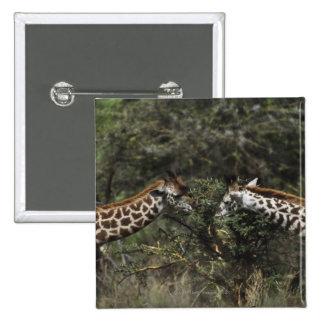 Jirafas que alimentan en la rama del acacia, pin cuadrado