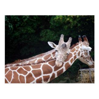 jirafas que frotan cuellos postal