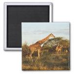 Jirafas reticuladas, camelopardalis 2 de la jirafa imán cuadrado