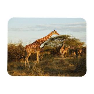 Jirafas reticuladas, camelopardalis 2 de la jirafa imán rectangular