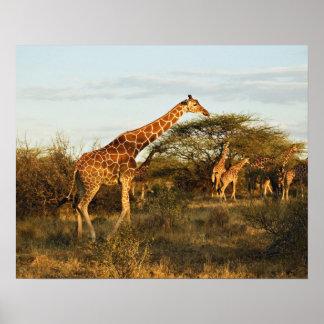 Jirafas reticuladas, camelopardalis 2 de la jirafa impresiones