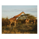 Jirafas reticuladas, camelopardalis 2 de la jirafa póster