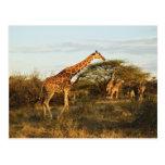 Jirafas reticuladas, camelopardalis 2 de la jirafa tarjetas postales