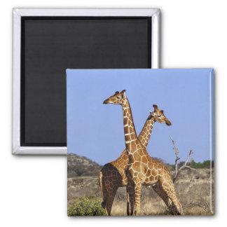 Jirafas reticuladas, camelopardalis 3 de la jirafa imán cuadrado