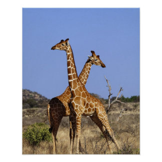 Jirafas reticuladas, camelopardalis 3 de la jirafa posters