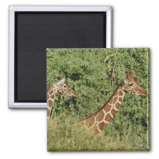 Jirafas reticuladas, camelopardalis de la jirafa imán cuadrado