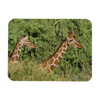 Jirafas reticuladas, camelopardalis de la jirafa imán rectangular