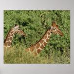 Jirafas reticuladas, camelopardalis de la jirafa posters
