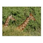Jirafas reticuladas, camelopardalis de la jirafa postal