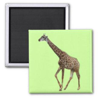 Jirafas y árboles, 长颈鹿. Fotografía del parque Imán De Frigorifico