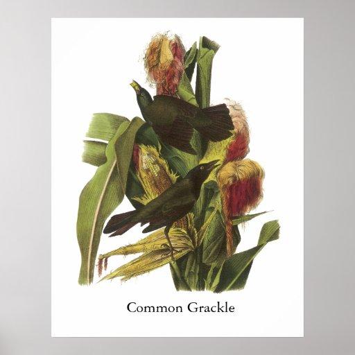 John Audubon Common Grackle Print