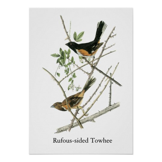John Audubon Rufous-sided Towhee Poster