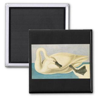 John James Audubon Trumpeter Swan Magnet