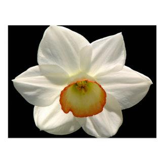 Jonquil/Daffodil Postcard
