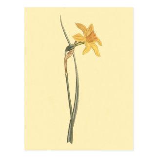 Jonquil Daffodil Yellow Flower Illustration Postcard