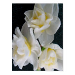 Jonquil Flower - Ecclesiastes 3:1 Postcard