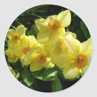 Jonquils/Daffodils/Narcissus Classic Round Sticker