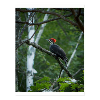 Jordan Pond Pileated Woodpecker. Postcard