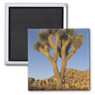 Joshua Tree, Yucca brevifolia), and granite 2 Inch Square Magnet