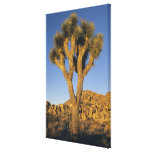 Joshua Tree, Yucca brevifolia), and granite Canvas Print