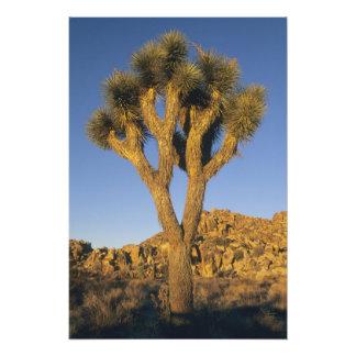 Joshua Tree, Yucca brevifolia), and granite Photo Print
