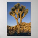 Joshua Tree, Yucca brevifolia), and granite Poster