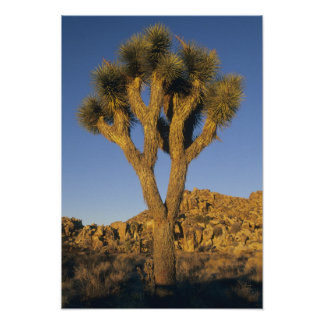 Joshua Tree, Yucca brevifolia), and granite Print
