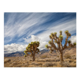 Joshua Trees in Desert Postcard