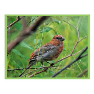 Joven del pájaro de pino postal