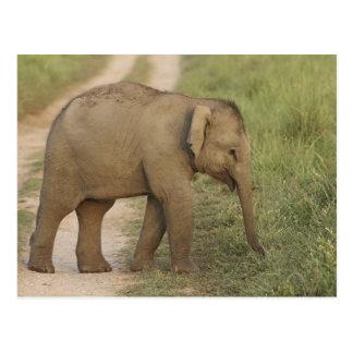 Jóvenes uno del elefante indio/asiático en postal