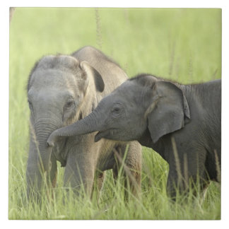 Jóvenes unos del elefante indio/asiático azulejo cuadrado grande