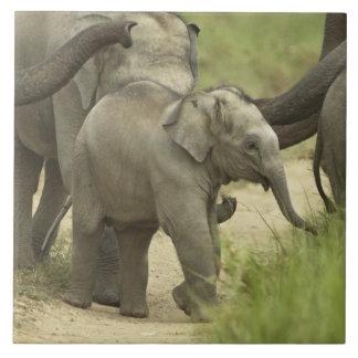 Jóvenes unos del elefante indio/asiático en azulejo cuadrado grande