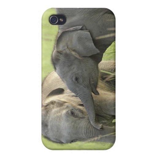 Jóvenes unos del elefante indio/asiático iPhone 4 cárcasa