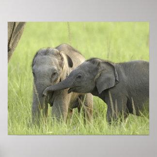 Jóvenes unos del elefante indio/asiático poster