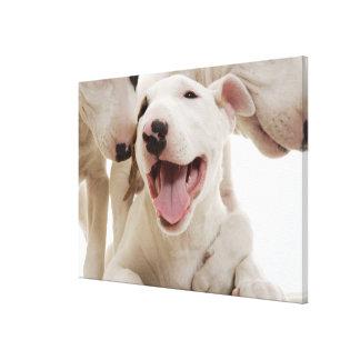 Joyful Bull terriers Canvas Print