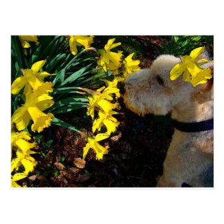 Jubal smells daffodils more daffs postcard