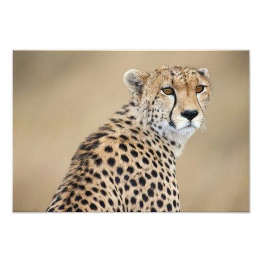 Jubatus alerta del Acinonyx del guepardo), Masai M Fotografia