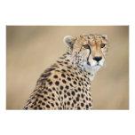 Jubatus alerta del Acinonyx del guepardo), Masai M Impresiones Fotograficas