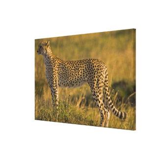Jubatus del Acinonyx del guepardo) en el llano, Ma Lona Envuelta Para Galerías