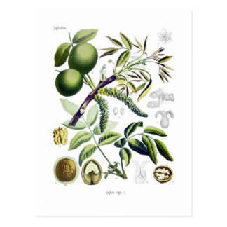 Juglans regia (nuez) tarjetas postales