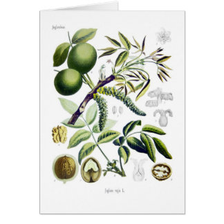 Juglans regia (walnut) card