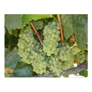 Juicy Green Grapes on the Vine Postcard