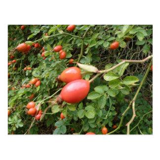 Juicy Red Rose Hips Postcard