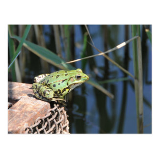 Jump - green frog at lake postcard