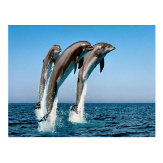 Jumping dolphins postcard
