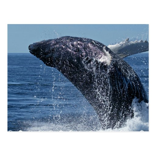 Jumping Humpback Whale Postcard