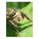 Jumping Spider Post Cards